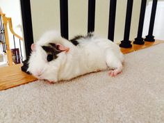 Guinea pig - that's out little Harry