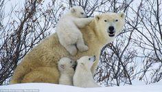 Polar Bear Snow Dens | ... Polar bears caught mucking about in the snow after a long hibernation