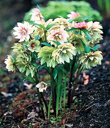 Provide some variety in the shady areas of your garden by planting hellebores with snowdrops and later blooming hostas. Finding interesting shade plants is always a challenge, and these three will dress up a shadowy corner in style.