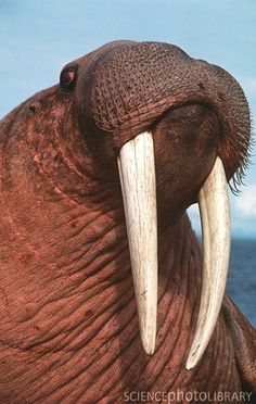 "Walrus (Odobenus rosmarus). The name probably comes from old German/Scandinavian ""valrhross"" i.e. whale-horse."
