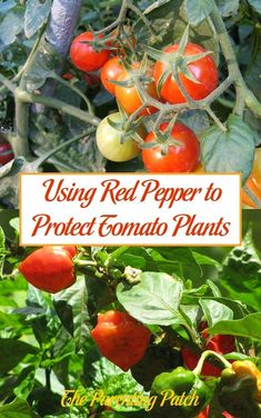 Many gardeners use red pepper to protect tomatoes. Tomato and pepper are often planted as companion plants. Pepper flakes are also often sprinkled on or around tomatoes. But, how and why does red pepper protect tomato plants? Pepper Plants, Companion Planting, Tomato Garden, Tomato Plants, Organic Gardening, Gardening Tips, Vegetable Gardening, Texas Gardening, Planting
