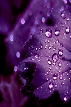 Violet Petal w/ water drops :: Macro Photography