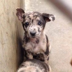 SAFE --- FOSTERS NEEDED!!! ADOPTERS WANTED! Adorable Catahoula puppies ready for adoption at Odessa, Texas Animal Control. We don't want them to spend the weekend so message us if you can foster or adopt. Lets get them OUT!! Animal Control is NOT open on the weekends unfortunately so please go today if you can help! LOOK AT THIS FACE! HOW CAN YOU SAY NO?!  https://www.facebook.com/speakingupforthosewhocant