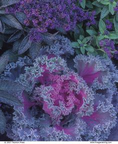 Mix harmonious hues in your garden for winning combinations. Plant id's and tips for designing a garden. Article from Fine Gardening. Outdoor Landscaping, Outdoor Plants, Garden Plants, Landscaping Ideas, Autumn Garden, Summer Garden, Cabbage Flowers, Red Cabbage, Ornamental Cabbage