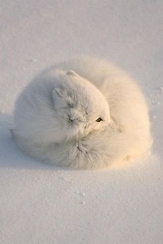White Fox Curled in a Ball, if not for the eyes, you could not see the fox.
