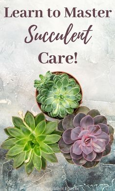 Learn all about succulent care, with detailed, well-illustrated posts. Learn everything your succulents need from how to water succulents, to how much light do succulents need, on up to treating and preventing pests on your succulents! I show you step-by-step how to enjoy lush succulents and how to keep them healthy and colorful! :) #succulentcare #succulentcareinstructions #succulentcareguide #succulentcaretips #succulentcare101