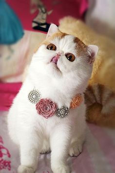 (I love Snoopy the cat!) 50 Cute Pictures Of Snoopy The Cat Cute Cats, Funny Cats, Funny Animals, Cute Animals, Funny Animal Pictures, Cute Pictures, Beautiful Pictures, Snoopy Cat, Pugs