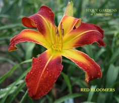 """(Scott, E., 2002) ht 32"""", blm 8.5"""", E, Rebloom, SEV, Tet, Fragrant, 20 buds, 3 branches, UFo Cascade DF Flowers: Orange red blend with red eye and yellow midribs above yellow green throat. (PATRIOTIC"""