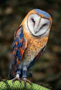 Barn owl, so pretty. (scheduled via http://www.tailwindapp.com?utm_source=pinterest&utm_medium=twpin&utm_content=post155620463&utm_campaign=scheduler_attribution)