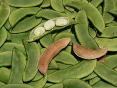 Bean - Henderson's Earliest Bush Bean (Baby Lima) non-GMO Heirloom ,vegetable seeds !