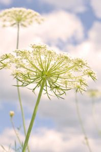 Queen Anne's lace!