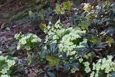 Primula vulgaris 'Hose in hose' planted with Helleborus niger 'Double Fantasy'. Chanticleer