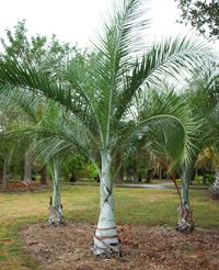 The Buccaneer Palm Tree, scientific name Pseudophoenix sargentii, is a truly collectors palm. This palm loves warm tropical weather and is not cold hardy. Buccaneer Palm Tree has a self cleaning tr… Tropical Garden, Tropical Plants, Trees And Shrubs, Trees To Plant, Indoor Palms, Indoor Outdoor, Wholesale Plant Nursery, Florida Palm Trees, Wholesale Plants