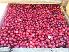 Crazy About Cranberries Norwell, Massachusetts  #Kids #Events