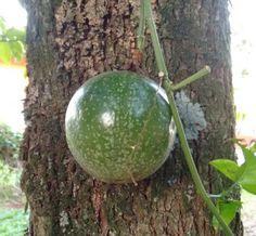 Incompreendida a primeira vista... Esse maracujá parece mais com uma decoração no tronco dessa árvore, que está servindo de escora para suas ramificações...