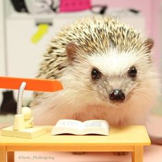 Librarian Hedgehog.