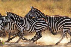 草原上奔跑的斑马群