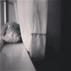 Holland lop, bunny, rabbit, ranger