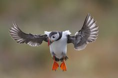 Photo Puffin landing on Isle of May. by Richard McManus on 500px