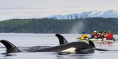 Kayak with Orcas | Johnstone Strait, British Columbia Kayaking Tour | ROW Dates available all summer for 6 days, approx $1200 per person.  Fabulous!
