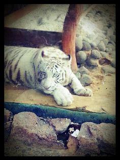 White Tiger at Jatim Park 2