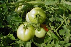 Vegetables, Garden Fruits & Herbs  - Articles & Resources from Nebraska Extension in Lancaster County