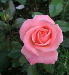 Kingdom of roses