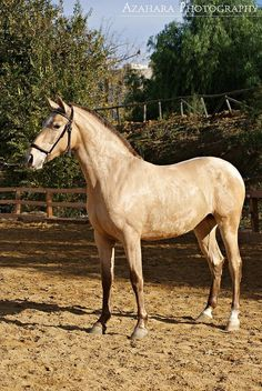 Golden horse ( Champagne Andalusian filly )