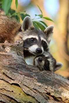 Raccoons Tenderness by TheNatureDude*