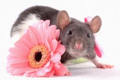 Ratte mit Blume | rat with flower | in Germany, you can get postcards with this motive