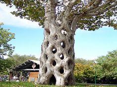 Los 10 Árboles más Impactantes del Mundo 1.-Baobab.  2.-Pino Bristlecone.  3.-Árbol Banyan.  4.-Árbol del Tule.  5.-Quaking Aspen.  6.-Roble Chapel.  7.-Redwood Coast.  8.-Giant Sequoias.  9.-Circus Trees.  10.-Lone Cypress
