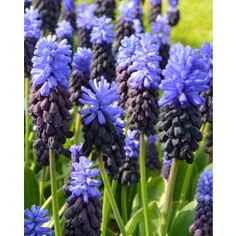 Spikes of dark blue, densely-packed florets are tipped with paler blue giving you compact yet eye-catching colour. This attractive grape-hyacinth will add a touch of charm to the spring border and has also been used successfully in pot-forcing and as a cut flower. Height 6-8 Inches. Bulb size: Topsize 6/+ cm.