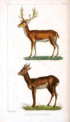 LOADS of FREE Printables on this site!  Oeuvres complètes de Buffon (1830) Deer