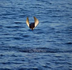 One of thousands of smooth-tailed mobula rays leaping out of the water off Baja California Sur, Mexico