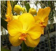 Vandaceous orchid