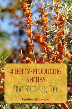 - 4 Berry Bushes that Fertilize, Too! Finding food-producing plants that are also useful in other ways is a great joy of mine. These four shrubs will not only provide berries for you, but also produce nitrogen to fertilize the garden. Garden Shrubs, Garden Plants, House Plants, Organic Gardening, Gardening Tips, Vegetable Gardening, Urban Gardening, Flower Gardening, Container Gardening