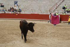 Xuntanza de peñas taurinas de Pontevedra 2014 Cow, Animals, Animaux, Animal, Animales, Animais