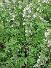 "2 - Mosquito Plant - Citronella Geranium - Mosquito Repellent Plants - (2) Two LIVE PLANTS (NOT SEEDS) - Nice size plants each in 4"" pots:Amazon:Patio, Lawn & Garden"