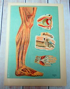 1930 Anatomy Illustration - Fold Out Diagrams - Leg Arm Eye Ear - Medical Ephemera