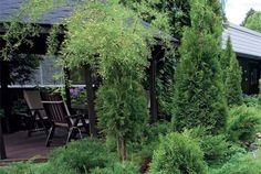 Havukasvit ja havuistukset puutarhassa tarjoavat suojaa - Suomela