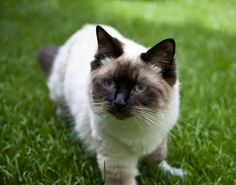 Top 5 of the Most Affectionate Cat Breeds- Ragdoll