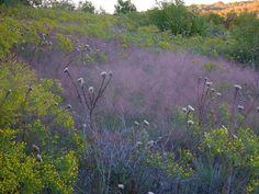Seep Muhly and Prairie Broomweed