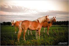haflinger horses =   Pork N Beans, aka Porky