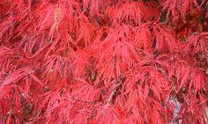 Acer palmatum 'Crimson Queen', Japanese Maple 'Crimson Queen', Acer palmatum var. dissectum 'Crimson Queen', Laceleaf Japanese Maple 'Crimson Queen', Cutleaf Japanese Maple 'Crimson Queen', Threadleaf Japanese Maple 'Crimson Queen', Tree with fall color, Fall color