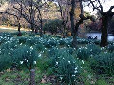 Narcissuses in Shinjuku gyoen national garden. Dec.8th