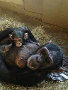 Chimpanzee mom and her baby