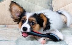 Pet grooming products are essential in order to sustain your companion's grooming requirements. Dog grooming such as care of nails and coat is. Mobile Pet Grooming, Puppy Grooming, Matted Dog Hair, Perro Papillon, Low Shedding Dogs, Large Dog Breeds, Large Dogs, Pet Paws, Dog Care Tips