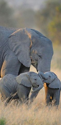 Sweet! Mama elephant and babies