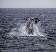 Breaching Humpback Whale Alaska