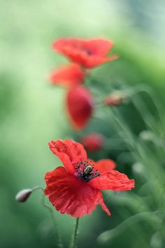 ♂ bokeh photography red flowers Kasia Mycatherina Pietraszko